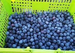 젊음의 묘약~ 신비의 열매, 블루베리