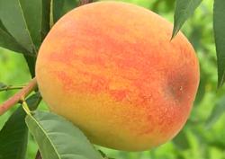 피부 미인의 비결을 찾아라! 여름 과일의 여왕 복숭아