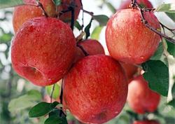 가을 대표 과일! 선비의 고장 영주 사과~